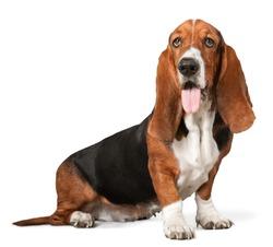 Dog, Basset Hound, Puppy.