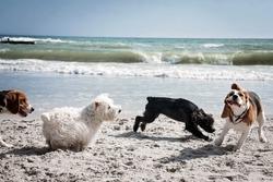 Dog beagle breeds having fun on the sand of the seashore.