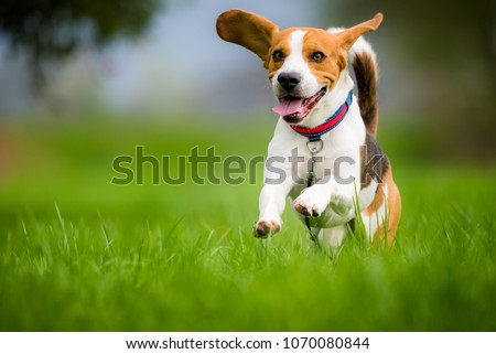 Dog Beagle running and jumping with tongue out through green grass field in a spring ストックフォト ©