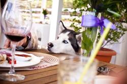 dog begging for food at outdoor cafe table. siberian husky portrait.