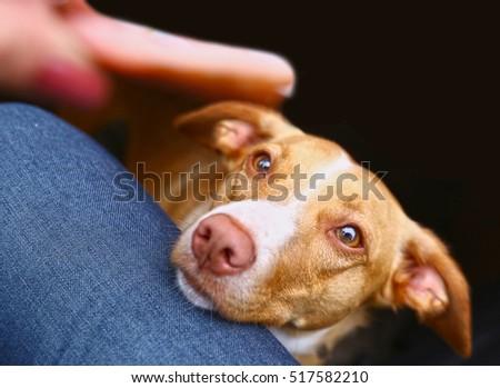 dog begging for sausage close...