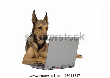 Dog (Belgian Malinois) working on computer