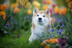 Dog between flowers in spring. Shiba Inu in a field of flowers. Shiba Inu enjoy spring. Happy dog in a park.