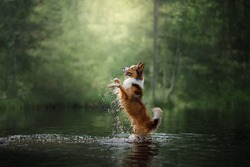 dog border collie in the water on the lake