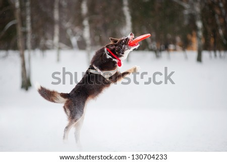 Dog border collie jumping and catching a flying disc in mid-air