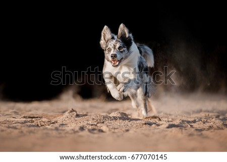 dog border collie running in the sand. Marble dog on a black background outdoors