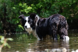 Dog Border collie standing in the river in the beginning of the summer waiting for a swim.