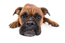 Dog boxer brown lies with muzzle on floor and looks sad