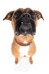 Dog boxer brown looks attentively upwards with wide angle