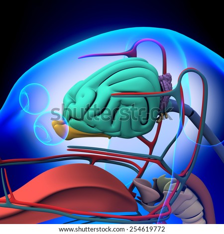 Dog Brain Anatomy - Anatomy of a Male Dog Brain