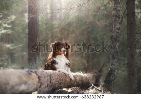 Dog breed Australian Shepherd in the forest, expressive portrait in nature #638232967