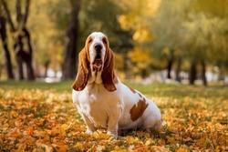 Dog breed Basset Hound