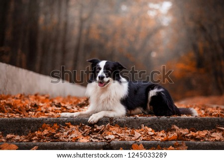 Dog breed Border Collie in the autumn forest