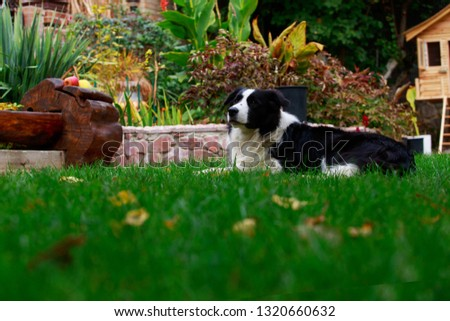 Dog breed Border Collie is lying down on green grass #1320660632