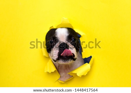 Dog breed Boston Terrier pushes his face into a paper hole yellow.