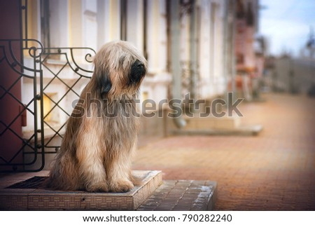 Dog breed Briard sits on a city street and looking to the side outdoor #790282240