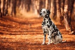 dog breed Dalmatian for a walk