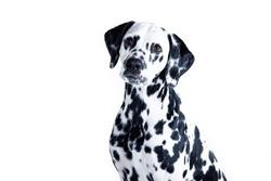 dog breed Dalmatian on white background portrait