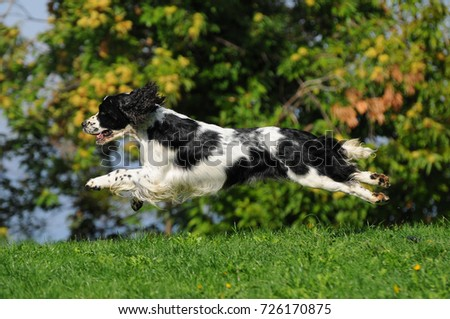 Dog breed English Springer Spaniel in outdoors. #726170875