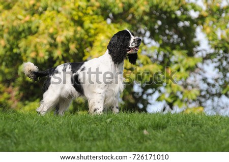 Dog breed English Springer Spaniel in outdoors. #726171010