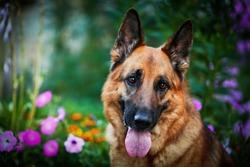 Dog breed German shepherd on nature