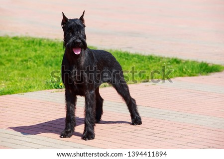 Dog breed Giant Schnauzer standing on the pavement #1394411894