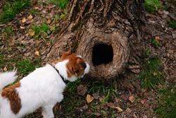 Dog breed Jack Russell Terrier looking into Tree hollow in the old moss-covered stump