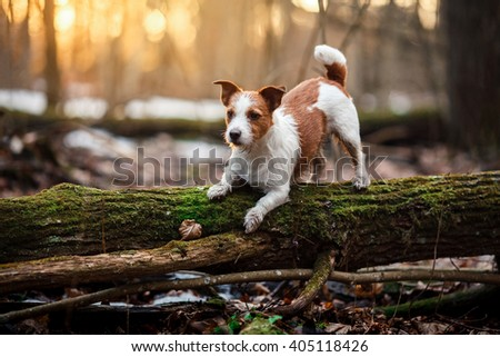 Shutterstock Dog breed Jack Russell Terrier walking in the forest, spring