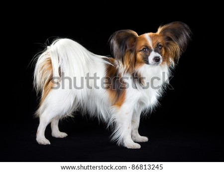 Dog breed Papillon on a black background