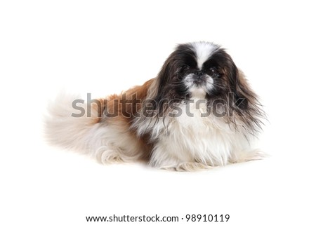 Dog breed Pekingese on white background - stock photo