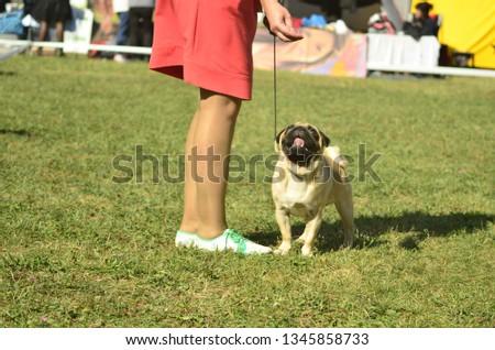 dog breed pug #1345858733