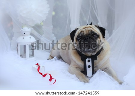 Dog breed pug on a white background in a suit the groom