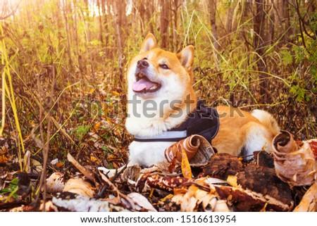 Dog breed Shiba Inu close-up on a background of autumn nature. Japanese purebred dog. #1516613954