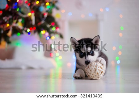Dog breed siberian husky puppy, portrait dog on a studio color background, Christmas and New Year