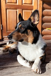 Dog breed Welsh Corgi Cardigan lies on the porch of the house