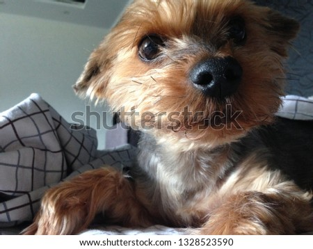 Dog breed Yorkshire Terrier. The Yorkie puppy is lying on the bed (couch).