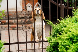 dog breeds Beagle the iron gate in the garden of a country house. pet.