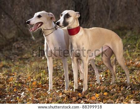 dog breeds whippet, greyhound hunting dog - stock photo