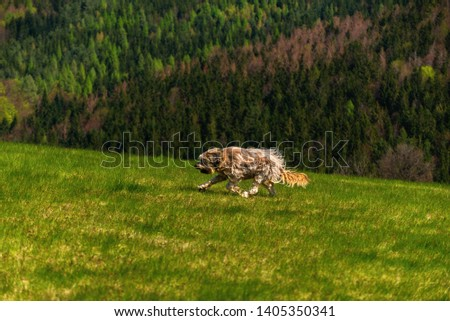 Dog briard (french shepherd) with wind blown hair runs over green pasture, forest on background.  #1405350341