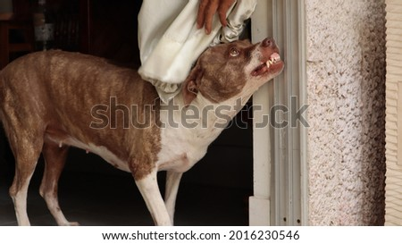 Dog Brown and white ferocious fangs visible long pointed scary. Stock photo ©
