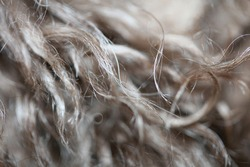 Dog brown curly hairs close up lagotto romagnolo abstract background modern high quality big size prints