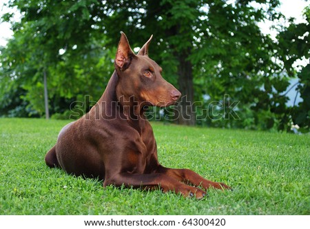DOG Brown doberman