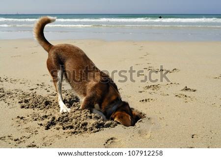 Dog burying his head in the sand at Sennen beach, Cornwall.
