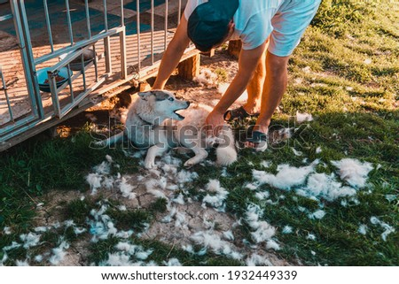 Dog care, Siberian Husky sheds, the owner of the dog combs the old fur, the work is done on the street. 2021 Foto stock ©
