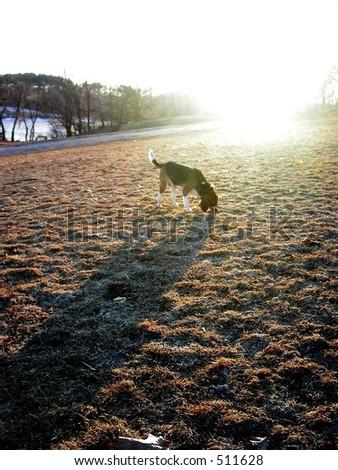 Dog casting long shadow