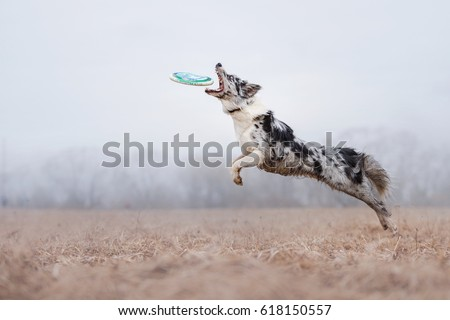 Dog catching flying disk, pet playing outdoors in a park. Australian Shepherd, Aussie