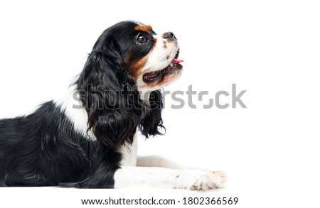 dog Cavalier King Charles Spaniel lies in the studio Photo stock ©