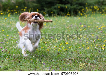 dog Cavalier King Charles Spaniel, running, playing, holding a stick in the muzzle #570903409