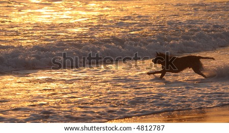 Dog chases a ball in the ocean at sunset