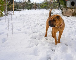 Dog Chinese Shar-Pei stands in the snow on a winter day in Greece